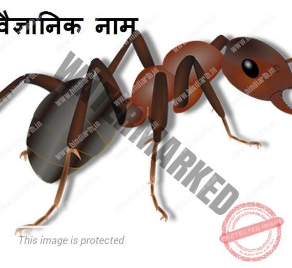 चींटी का वैज्ञानिक नाम chiti ka vaigyanik naam kya hai