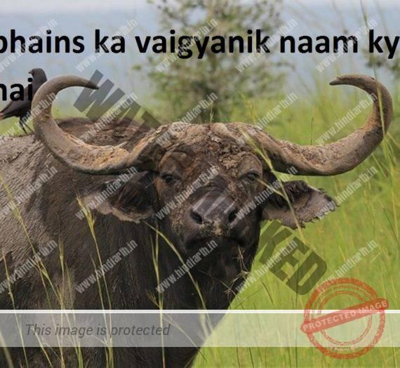 भैंस का वैज्ञानिक नाम buffalo scientific name
