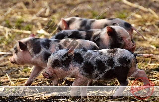 सूअर का वैज्ञानिक नाम