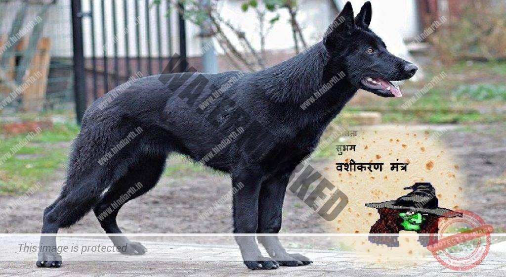 काले कुत्ते को रोटी डालकर वशीकरण