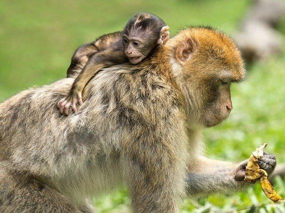 बंदर का वैज्ञानिक नाम  monkey scientific name
