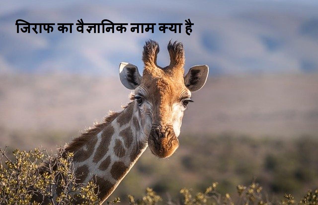 जिराफ का वैज्ञानिक नाम क्या है giraffe scientific name